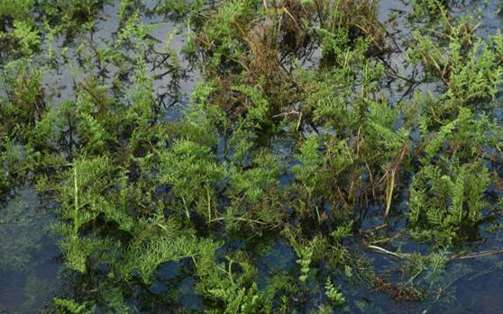 海口发现海南独有物种——邢氏水蕨 系国家二级重点保护植物